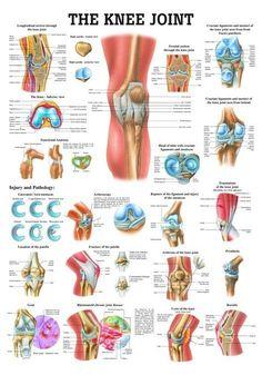 The Knee Joint Laminated Anatomy Chart - Massagetherapie, Fysiotherapeut en Anatomie Muscle Anatomy, Body Anatomy, Hip Anatomy, Anatomy Organs, Heart Anatomy, Anatomy Drawing, Knee Joint Anatomy, Anatomy Of The Knee, Knee Muscles Anatomy