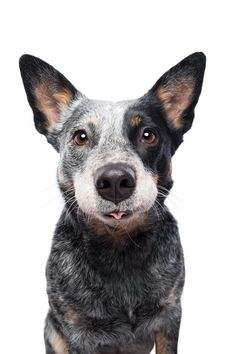 Dog photographer Elke Vogelsang is a renown expert for dog photography in Germany and worldwide and offers a unique style of studio photography for dogs. Dog Whiskers, Pet Dogs, Dogs And Puppies, Corgi Puppies, Weiner Dogs, Doggies, Cute Animal Pictures, Dog Portraits, Dog Photos