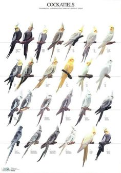Cockatiels                                                                                                                                                                                 More