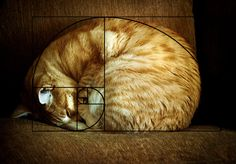 Cats are perfect! Ever heard of the Fibonacci sequence aka the Golden Ratio? Fibonacci Golden Ratio, Fibonacci Spiral, Fibonacci Number, Fibonacci Sequence In Nature, Golden Ratio In Design, Divine Proportion, Composition Art, Cat Sleeping, Sacred Geometry