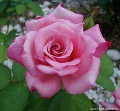 Hybrid Tea Rose: Rosa 'Lady Luck' (U.S.?, 1956)