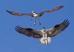 Osprey (Everglades, Florida)