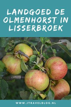 Op Landgoed De Olmenhorst in Lisserbroek kun je in september en oktober je eigen appels en peren plukken. Maar er is veel meer te doen. Wat, dat lees je hier. Lees je mee? #lisserbroek #landgoeddeolmenhorst #olmenhorst #appels #peren #landgoed #jtravel #jtravelblog