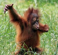 'I'm the King of the Jungle' - Adorable and Cute Yenko, the Baby Orangutan playing in the Grass at Dortmund Zoo, Germany