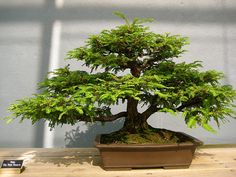 Bonsai Tree.  I got one for christmas from my boyfriend :) hope I can keep it alive