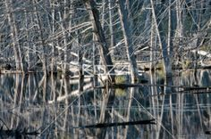 dead trees and reflections - Dead trees and reflections in a swampy river