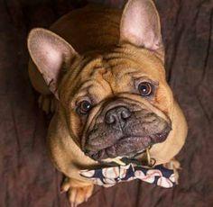 French Bulldog ♥️
