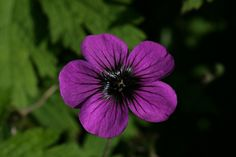 Plant profile of Geranium psilostemon on gardenersworld.com