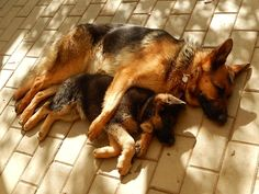 GSDs ❤️❤️❤️                                                                                                                                                                                 More