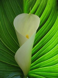 the simplicity of calla lily
