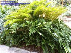 Full size picture of Cycad, Cardboard Palm (Zamia furfuracea)