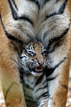"""""""Mama Tiger with her baby Cub looking through her legs""""  [Taronga Zoo, Sydney, New South Wales, Australia]~[Photo by studiouspanda88 - October 26 2011]'h4d'121001"""