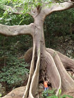 Beautiful Tree - Ceiba de Peñuelas, Puerto Rico