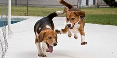 Help Free Dogs and Cats from Laboratories! Pass the Beagle Freedom Bill in NY
