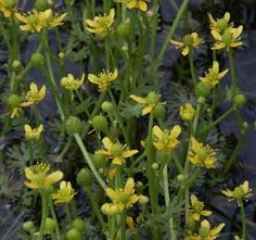 Small yellow water crowfoot, copyright 2003 Andy Fyon.