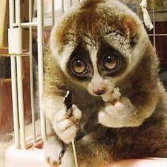 THIS IS A THREATENED SPECIES! Nocturnal rainforest dweller. Please DO NOT SUPPORT, OR LIKE VIDEOS THAT ENCOURAGE THE PET TRADE. Please. Slow loris looking very sad:(