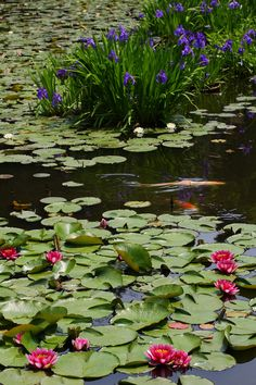 waterlilies and irises competing