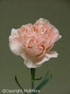 Winter Flowers: Carnations: Pink Montezuma