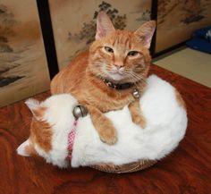 Cat_Shiro beneath Tyatora