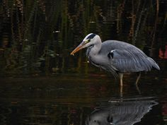 https://flic.kr/p/MG14Yf | Grey Heron | Bought a lightweight walkabout camera. Panasonic FZ72, been trying it out today, it was a rainy dull day but it still performed well