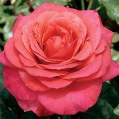 Garden Roses: Hybrid Tea Roses, Floribunda Roses, Climbing Roses, and Shrub Rose
