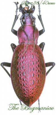 Carabidae : Acoptolabrus smaragdinus branickii - The Bugmaniac INSECTS FOR SALE BUTTERFLIES FOR SALE INSECTS FOR SALE BEETLES FOR SALE BEETLES BY ECOZONE ASIAN-AUSTRALASIAN ECOZONE CARABIDAE