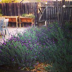 Lavender in backyard Backyard Ideas, Lavender, Garden, Plants, Garten, Lawn And Garden, Gardens, Plant, Yard Crashers