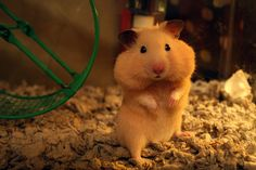 I love hamsters. I used to have one and he would always stuff food in his cheeks like this. Bear Hamster, Hamster Stuff, Gerbil, Hamster Animal, Baby Animals, Cute Animals, Syrian Hamster, Cute Hamsters, Chubby Cheeks