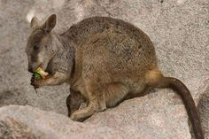 Allied Rock Wallaby   Petrogale assimilis