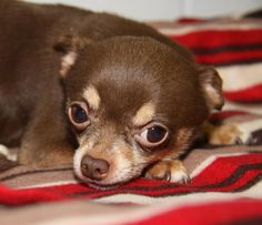 Meet Pedro, an adoptable Chihuahua looking for a forever home. If you're looking for a new pet to adopt or want information on how to get involved with adoptable pets, Petfinder.com is a great resource.