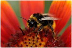 A key to understanding problems facing bumblebees is hiding in the Smithsonian collections. Make these records available & be part of the Smithsonian legacy.