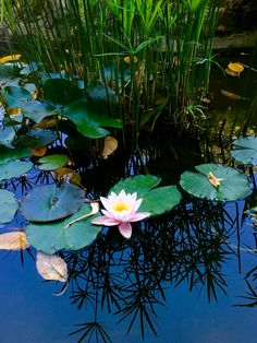 If we could see the miracle of only one flower clearly, our whole life would change. Water Lilies Painting, Lotus Painting, Monet, Carpe Koi, Lotus Art, Lily Pond, Aquatic Plants, Water Garden, Trees To Plant