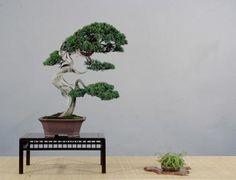 Juniper Bonsai Gallery - Artist: Cheng Cheng-Kung