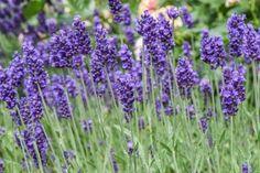 Közönséges levendula – vagy orvosi levendula a hazánkban legelterjedtebb levendula fajta. Jellemzői, gondozása, felhasználása. Tudnivalók, információk. Plants, Plant, Planets
