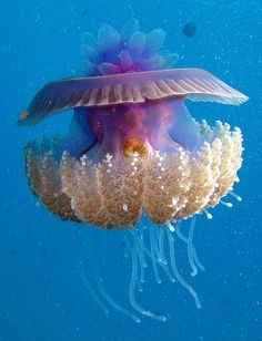 Cephea is a genus of true jellyfish in the family Cepheidae. They are found in the Indo-Pacific and East Atlantic. Q: Why are there different looking jellyfish? Q: Do the different temperatures of the ocean effect different types of species of jellyfish? Underwater Creatures, Underwater Life, Ocean Creatures, Beautiful Sea Creatures, Animals Beautiful, Cute Animals, Under The Ocean, Sea And Ocean, Fish Ocean