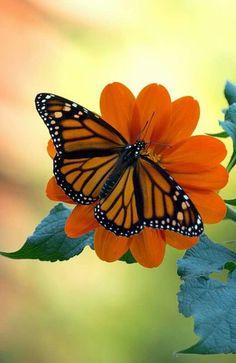 Monarch Butterfly on Flower!