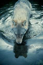 Christian Houge: A photographer dances with wolves