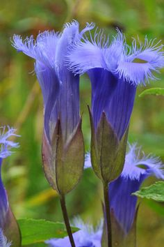 Fringed Gentian beautiful alpine flowers
