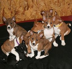 Basenji puppies- I might be a little biased but they are the cutest puppies