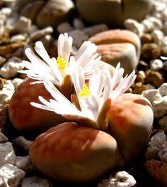 Lithops& Succulent | 石頭玉系