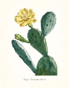 FRENCH CACTUS SERIES NO. 3 GICLEE CANVAS PRINT This print features an antique botanical French cactus illustration which has been digitally enhanced and added to a light neutral background. ***There a