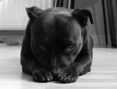 What a cute little Staffie face