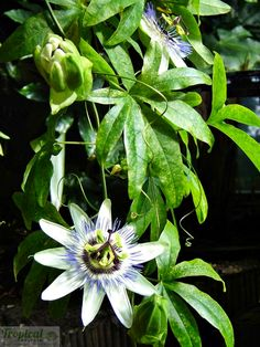 Passiflora caerulea - fully hardy in the UK.