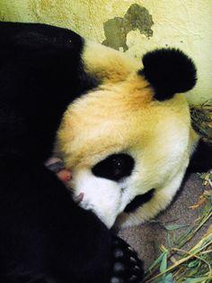 National Zoo Pandas Mei Xiang and cub