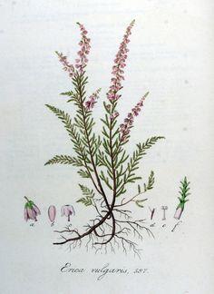 Calluna vulgaris Geel/Oranje