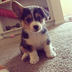 Floppy ear Pembroke Welsh Corgi #corgi #tricolor #puppy