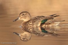 American Green-winged Teal Ever wonder where the name comes from? Even the drab molting individuals sport a bright emerald speculum. Anchorage, Alaska.