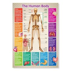 Summit A3 Laminated Human Body Skeleton Educational Poster No description (Barcode EAN = 6051255653156). http://www.comparestoreprices.co.uk/december-2016-5/summit-a3-laminated-human-body-skeleton-educational-poster.asp