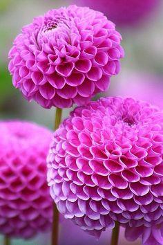 Vibrant pink pompom dahlias. So pretty!