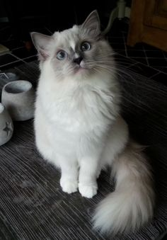 Blue mitted baby with blaze / www.ribbonsragdolls.com